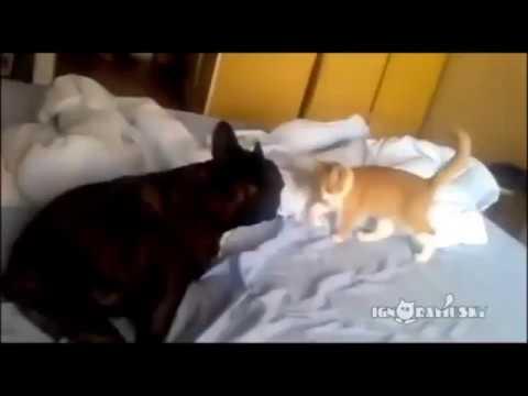 Lion Killing Dog Video