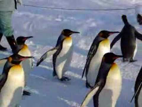 旭山動物園のペンギンのおさんぽ