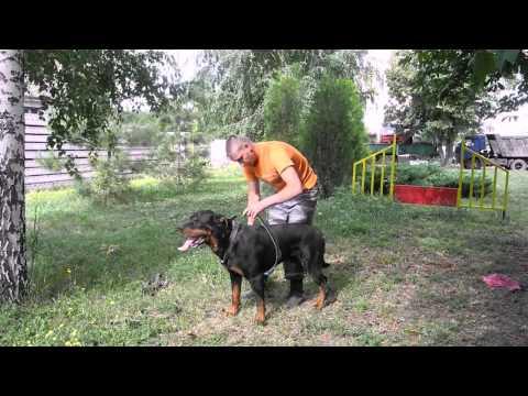 Упряжка для собак своими руками фото