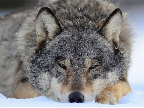 Тропой волка
