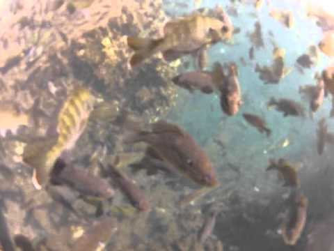 2012-02-20 Fishes of Tobacco Patch Spring, Ocklawaha River, FL