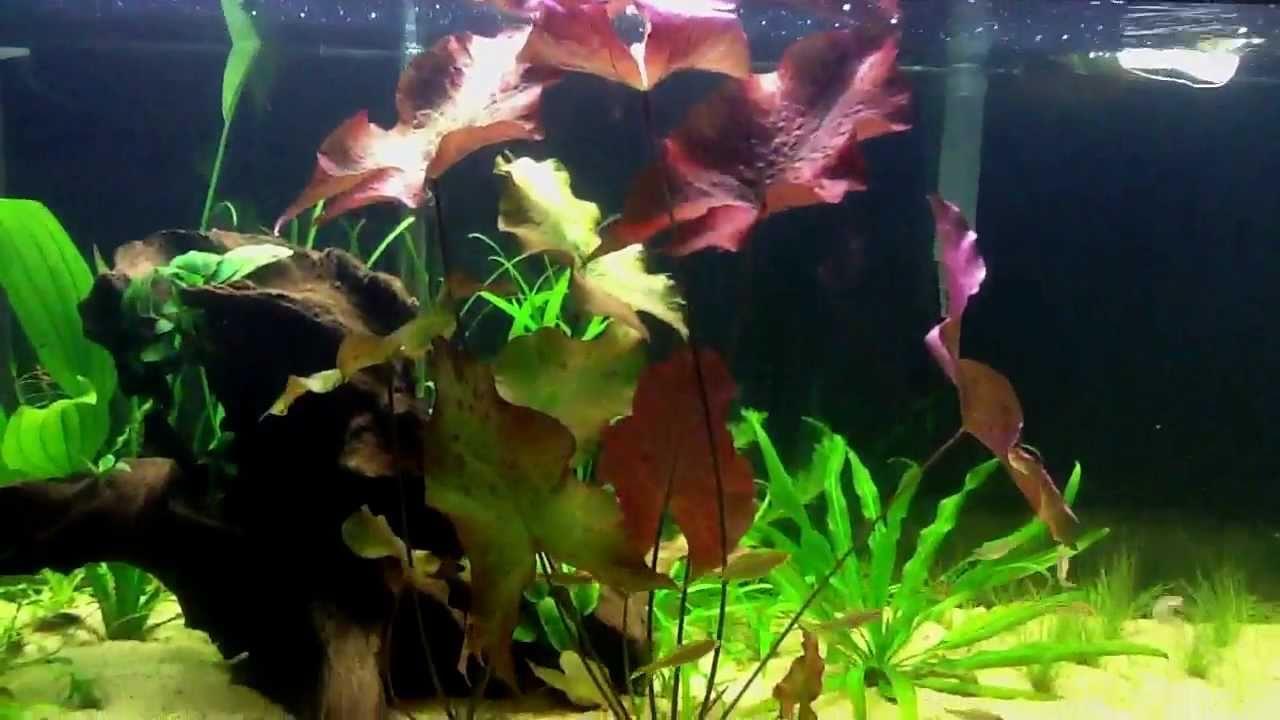 Red Tiger Lotus Nymphaea Zenkeri Day 37 Youtube