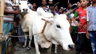 কুরবানির হাটে কেন সেরা মিরকাদিমের সাদা গরু? | Mirkadim Cow in Bangladeshi Qurbani Hat