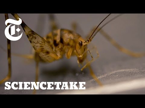 Crickets Can Jump 50x Their Body Length, Here's How | ScienceTake