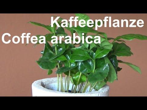 Kaffeepflanze Coffea arabica pflegen Standort Gießen Düngen vermehren Tipps