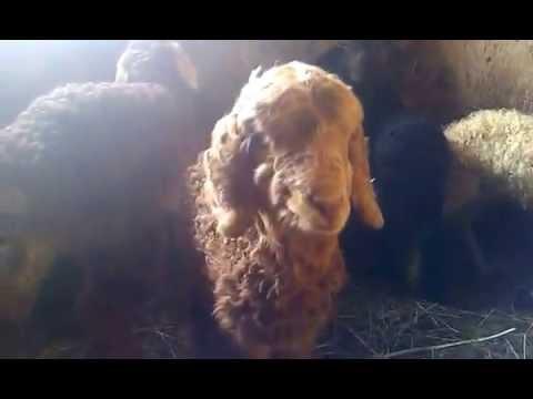 Ягнята    Lambs