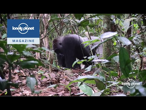 The wild gorillas of the Congo basin ...