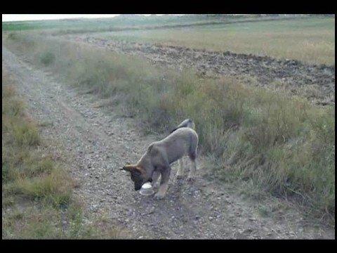 ... month with new puppy Sasha- Husky/TimberWolf/Malamute mix - YouTube