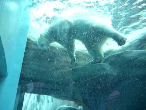 潜って遊ぶシロクマのロッシー♪(日本平動物園)