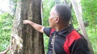 RATUSAN POHON KAYU GAHARU - Butuh Investor Untuk Suntik Inokulasi (Kebun Gaharu di Indonesia)