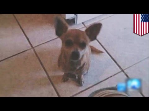 Animal abuse: PETA steals and kills family's healthy beloved pet Chihuahua