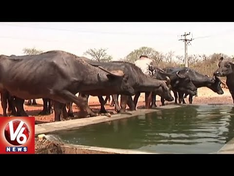 Telangana Govt To Launch Buffalo, Cow Distribution Scheme In August | V6 News