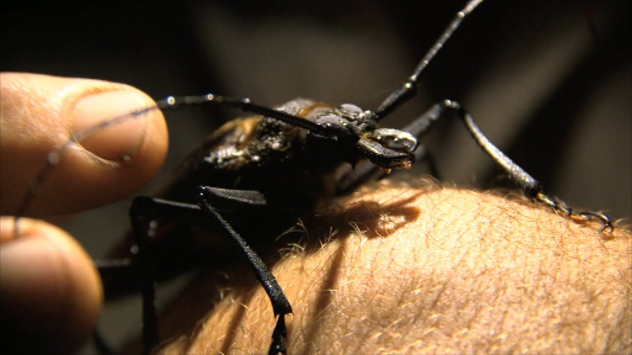 Giant Longhorn Beetle - Steve Backshall's Extreme Mountain Challenge: Episode 1 Preview - BBC Two