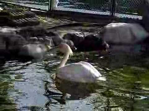 モモイロペリカン in 天王寺動物園