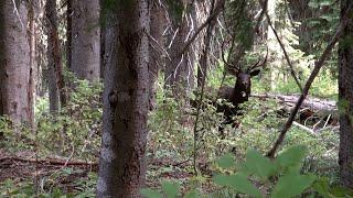 Elk hunting Montana 2018 - Bull elk going crazy