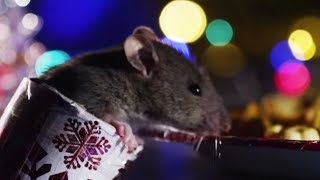Rats Get A Christmas Treat! | Cities: Nature's New Wild | BBC Earth