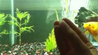 How to cure a goldfish with Swimbladder