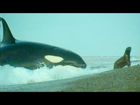 Killer Whales Playing with Their Prey | Trials Of Life | BBC Earth