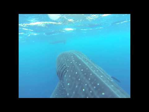 Whale Shark in Bonaire!  Biggest fish in the world! Captured with my GoPro Hero3!