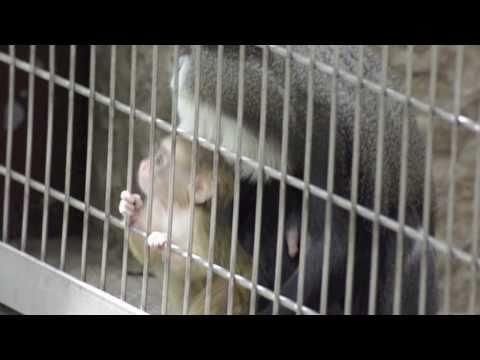 上野動物園 ブラッザグェノン 動物の赤ちゃん (オナガザル)