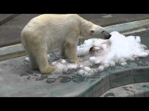2011年7月24日 釧路市動物園 時知らずを食べるツヨシ2