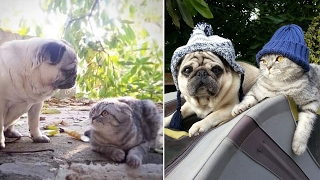Sly Cat Steals Heartbroken Pugs Food