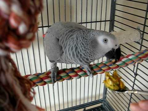 Eating her Daily Mash. Emma my Congo African Grey