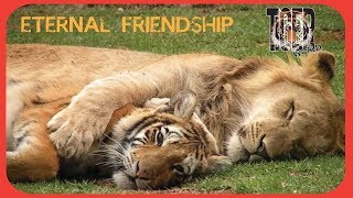 Ariel Lion and Tiger Tom, eternal friendship - Leao Ariel e Tigre Tom, amizade eterna.