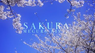 Meguro e i suoi sakura