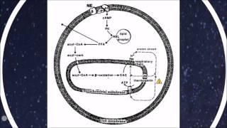 Metabolismo de mamíferos que hibernan