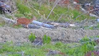 deer down hunting nz