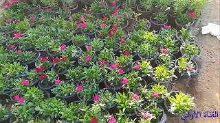 من داخل مشتل نباتات زينة  مشاء الله