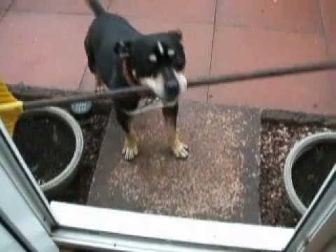 Perros - Intenta entrar con la escoba