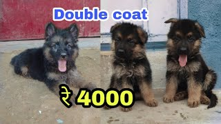 Double coat German shepherd price difference