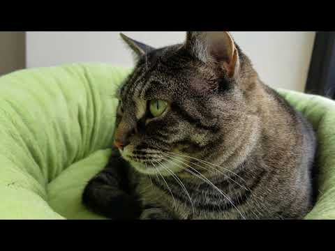 Feline Observational  - Tacy Cat Kneading and Purring