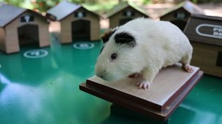 Cuba: Guinea pig roulette and more