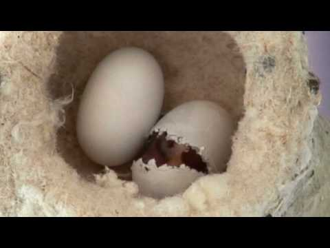 Hummingbird Hatching