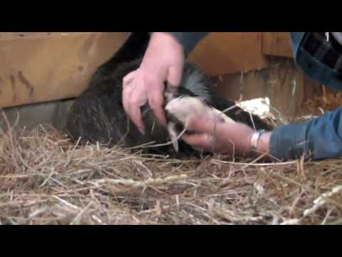 Pygmy Goat Live Birth