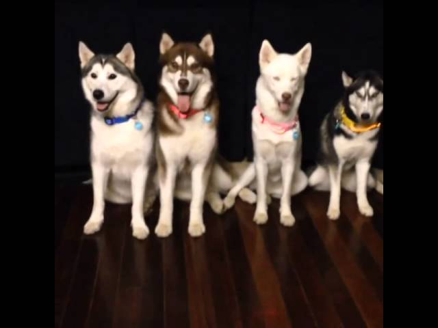 [LED Dog Collars - Squeaker Dogs] Video