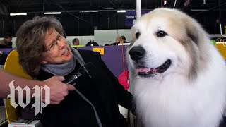 Meet the champions of the Westminster Dog Show