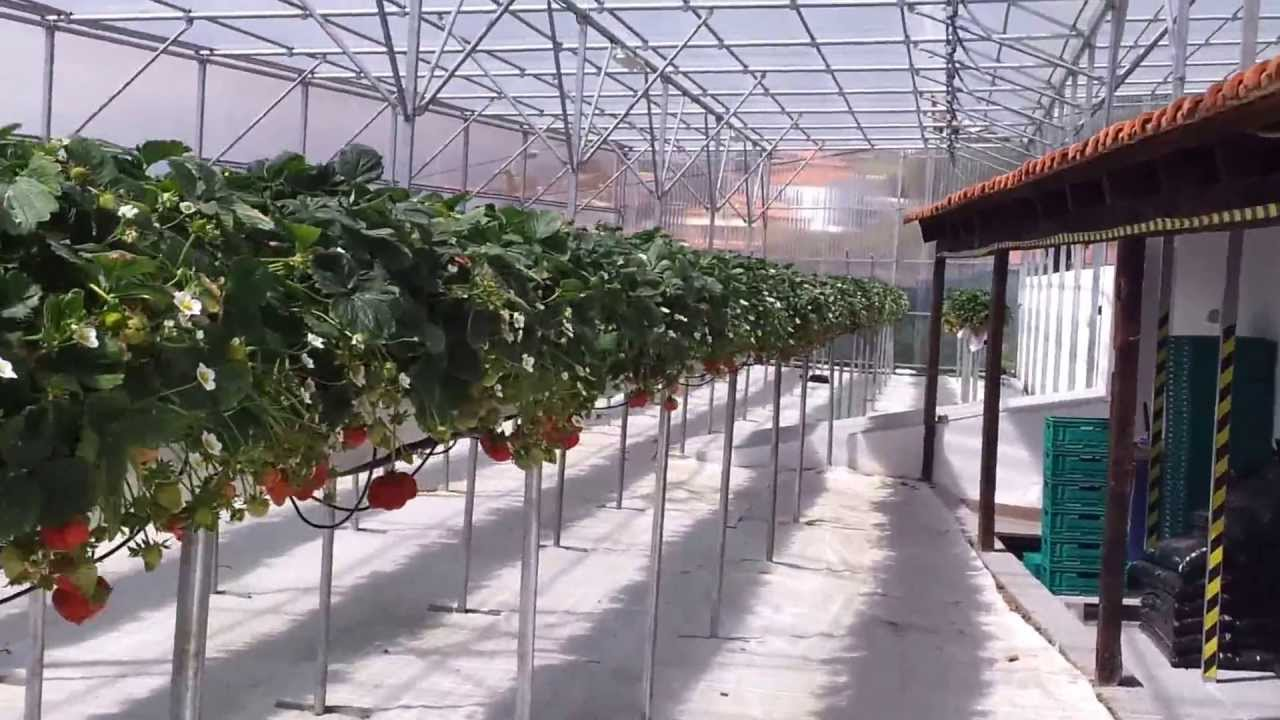 Fully Automated Strawberry Greenhouse Youtube