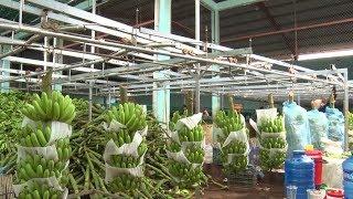 Đồng Nai tìm hướng xuất khẩu chuối bằng đường chính ngạch