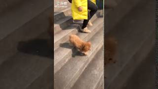 Funny dog going down stairs with 2 legs only~!