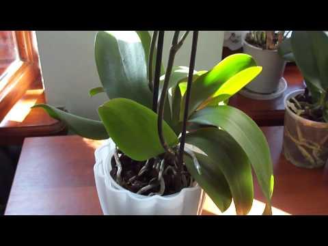 Почему нижние листья орхидеи всё чаще теряют тургор летом.