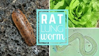 Rat Lung Worm In Hawaii Must Know For Tourists And Locals