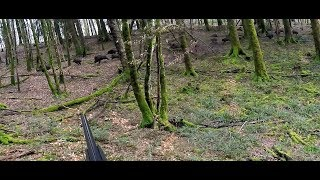 Chasse Sanglier Grosse bande JS CHASSE