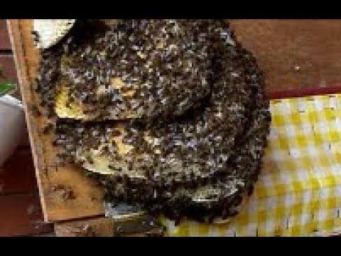 Extracción de colmena de  abejas de una  compostera en  Granollers.