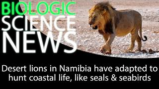 Science News - Desert lions in Namibia have adapted to hunt coastal life, like seals & seabirds