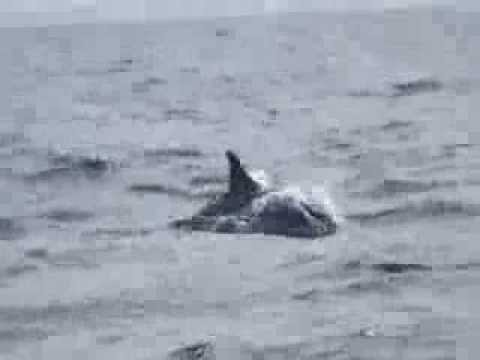 Dolphins Bow Riding At Kalpitiya Sri Lanka Top Ten10animal video