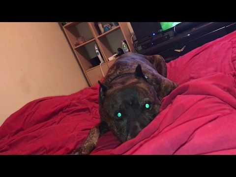 crazy pitbull playing time !!!